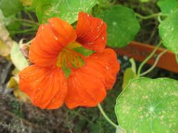 nasturtium flower file nasturtium flower jpg wikimedia commons
