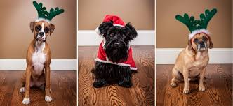 boxer dog xmas pet portraits u2013 christmas pups vancouver wedding and portrait