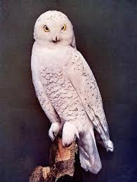 The Barn Owl Carol Stream Strigidae Lee U0027s Birdwatching Adventures Plus
