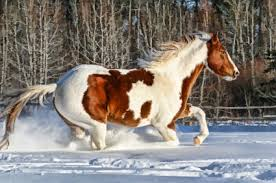 american paint horse best beauty animal
