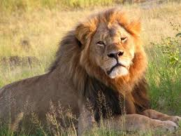 15 answers lion considered king jungle