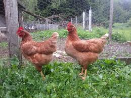 Chickens For Backyard Picking The Best Breed Of Chicken For Your Backyard Or Farm
