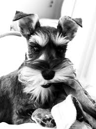 dogs 101 affenpinscher animal planet our mini schnauzer betsie now there u0027s some ears so cute