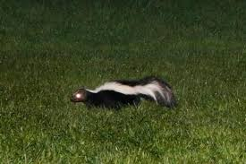 How To Get Rid Of A Skunk In Your Backyard Getting Rid Of Skunks Under The House U2013 The Mercury News