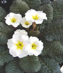 25 trending primrose plant ideas on pinterest shaded garden