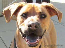 american pitbull terrier rhodesian ridgeback mix list of black tongued dogs