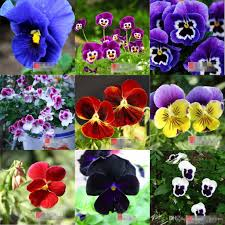 2017 new arrival pansy seed cat face fall flower seasons summer