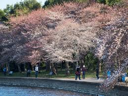 washington s cherry trees predicted to bloom historically early