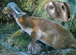 Feet In A Meter Of Largest Known Platypus Discovered In Australia