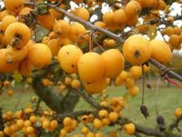 ornamental apple tree in the garden homexyou