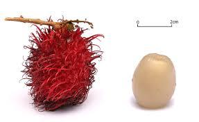 lychee fruit candy rambutan fruits in bunches the rambutan taxonomic name