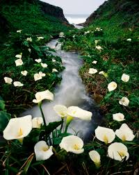 Calla Lillies In Big Sur California There U0027s A Valley Leading To The Beach Lined