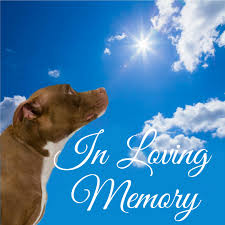 american pitbull terrier breeders st louis stray rescue of st louis in loving memory of nicholis allen oster