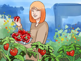 how to grow vegetables with pictures wikihow