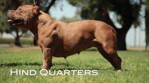 american pitbull terrier akc understanding the american bully breed standard re up youtube