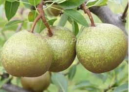 Online Fruit Trees For Sale - winter nelis pear trees for sale buy online friendly advice