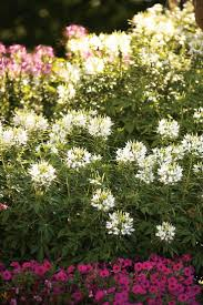 Heat Resistant Plants 17 Best Pastel Colors For The Garden Images On Pinterest Proven