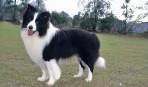 belgian sheepdog border collie mix border collie dog breed information