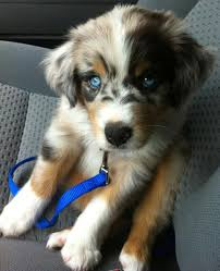 1 year old toy australian shepherd bdh aussies australian shepherds inheritance of color in the