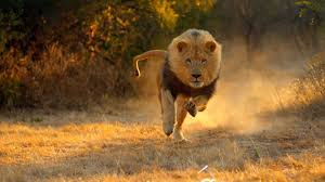 fast running lions big cat week national geographic channel