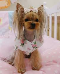 haircuts for yorkie dogs females designer yorkie cut google search yorkie related pinterest