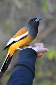 rufous treepie u2013 tiger bird incidental naturalist