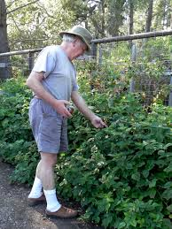 growing raspberries the easy way central coast gardening