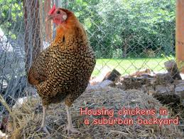 housing chickens in a suburban backyard counting my