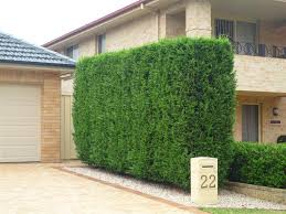 leyland cypress hedge google search outdoor pinterest