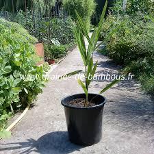 palmier du chili graines de palmier chanvre trachycarpus fortunei