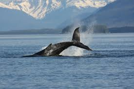 whale watching is it worth your time and money travelade com