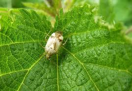 was ist das für ein insekt eine wanze oder was urlaub insekten wanze