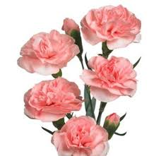 Wholesale Carnations Bella U0027s Mini Carnation Pink Flowers Are Some Of The Most Long