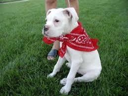 boxer dog white info on the white boxer dog boxerhub boxerhub