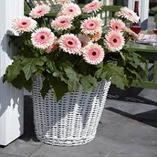 Best Plants For Hanging Baskets by Bedding Plants U0026 Hanging Basket Flowers Yougarden