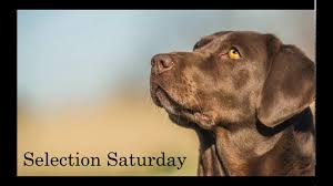 Lubbock Craigslist Free Stuff by Pointing Labs For Sale World Class Pointing Labrador Retriever