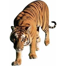 tiger meaning of tiger in longman dictionary of contemporary