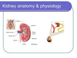 Kidney Anatomy And Physiology Video Acute Renal Failure Hai Ho M D Ppt Video Online Download