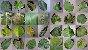 Plant Diseases With Pictures - jouni helminen