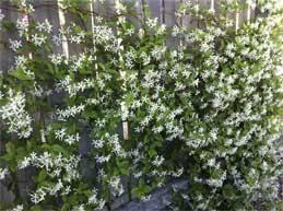 star jasmine on trellis lyn u0027s garden blog simply beautiful spaces