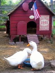 raising ducks or chickens ten reasons to choose ducks hgtv