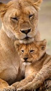 lion lurveeee love pinterest amour et animal