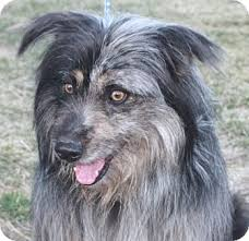 bearded collie adoption poland in bearded collie meet kirk a dog for adoption