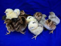 chickens for sale buy for sale near you efowl