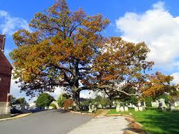 White Oak Leaf File White Oak Tree Manchester Maryland Jpg Wikimedia Commons