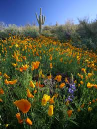 native plants of arizona brain food the southwest u0027s wildflower u0027super bloom u0027 knau