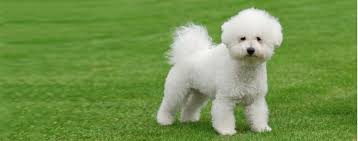 bichon frise training bichon frise dog breed health history appearance temperament