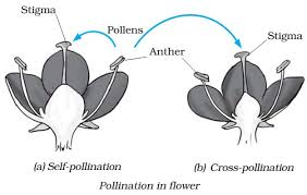 Reproduction In Flowering Plants - sexual and asexual reproduction in plants