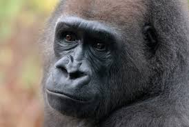 a different kind of remembrance for harambe a humane nation