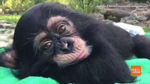 Chimp Meme - cute chimp sleeping in zoo will make your day youtube